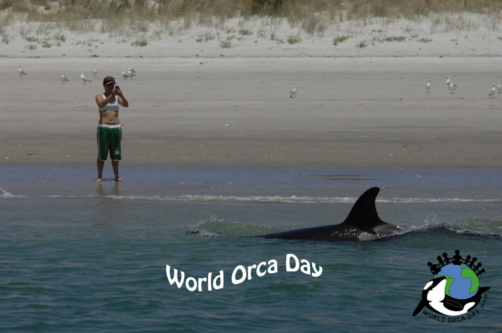 A person is taking a picture of an orca swimming by the beach for World Orca Day