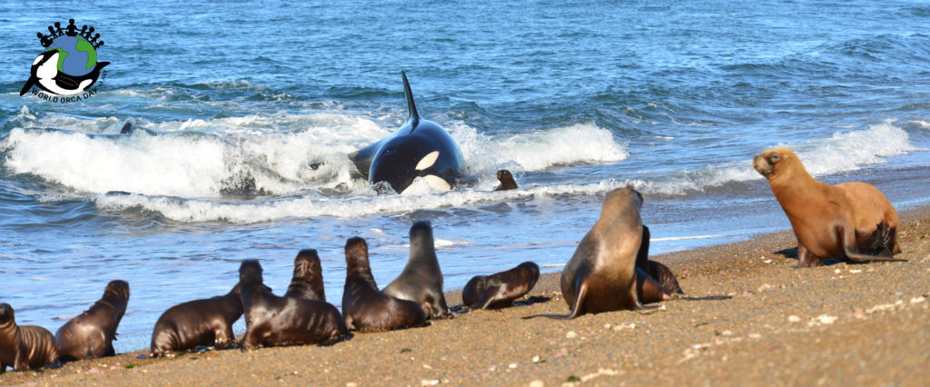 An orca stranded on the beach hunting sea lions in Punta Norte Argentina