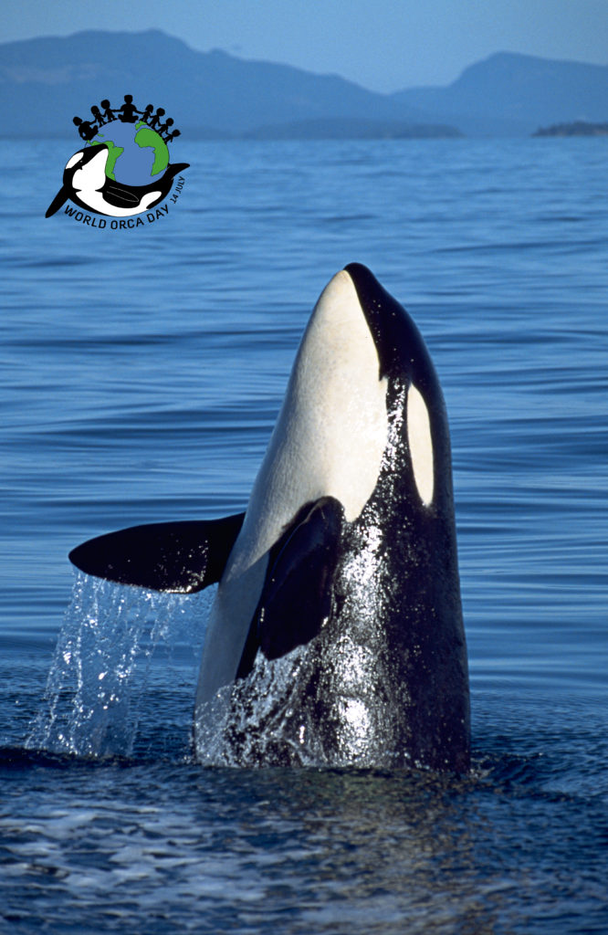 A young killer whale jumping out of the water in Canada