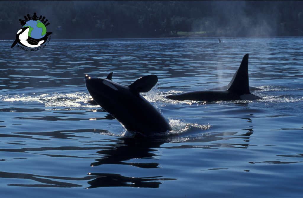 A group of orca in Canada swimming and breaching on the surface