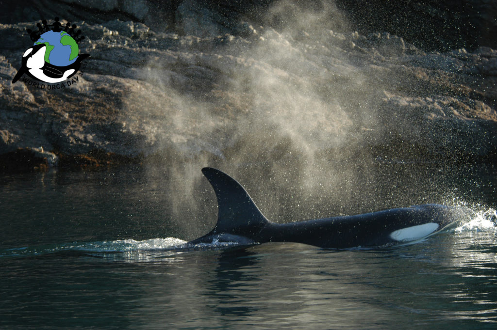 Orca blowing and breathing on the surface.