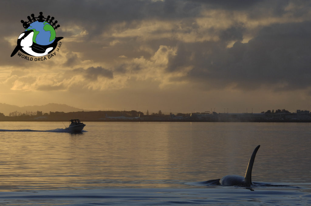 Orca swimming on the surface with boat coming towards it