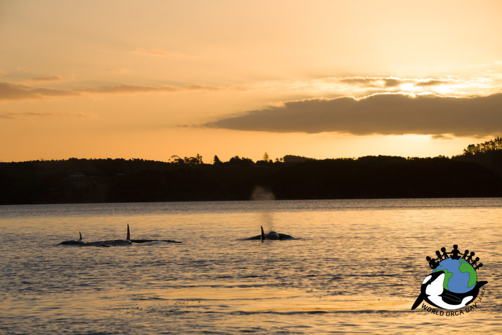 Orca family swimming away in the sunset. Thanks to all the supporters of orca conservation and World Orca Day to help protect this beautiful species!