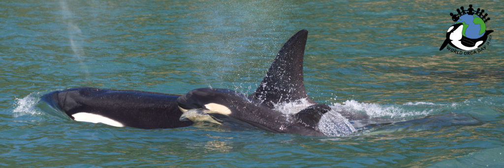Mother and calf orca swimming on the surface