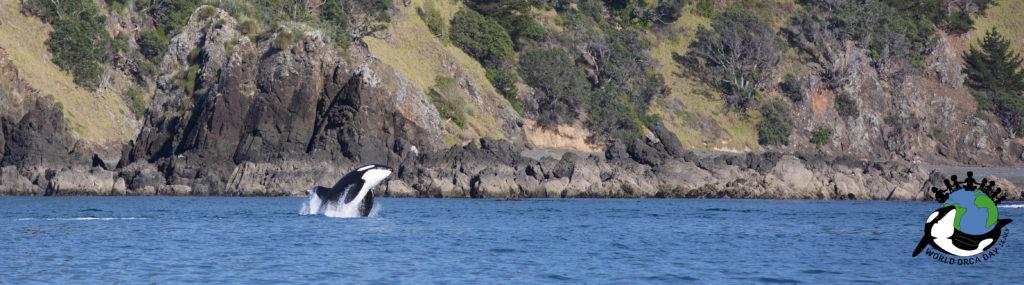 Orca breaching along the coastline