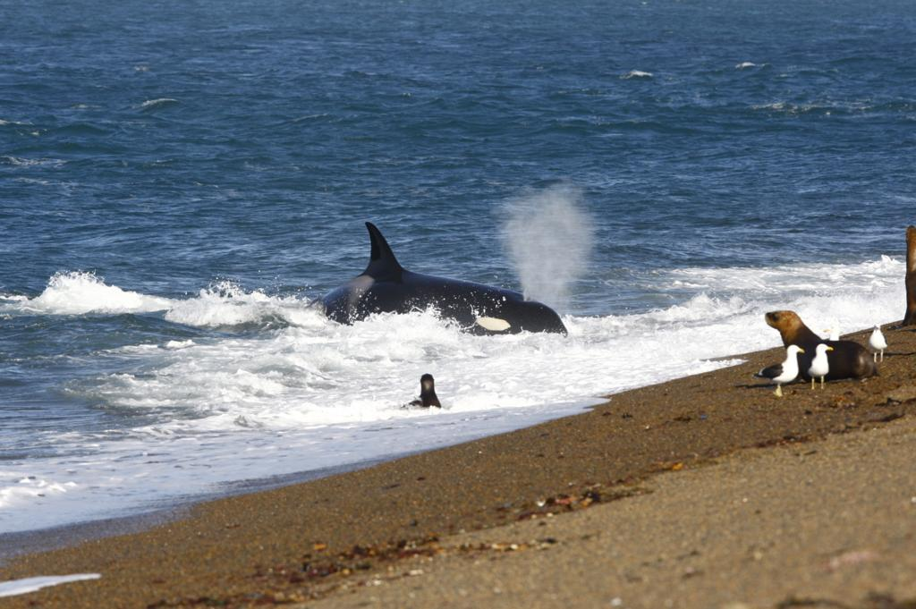 Orca stranded on the beach to catch sea lions in Punta Norte in Argentina